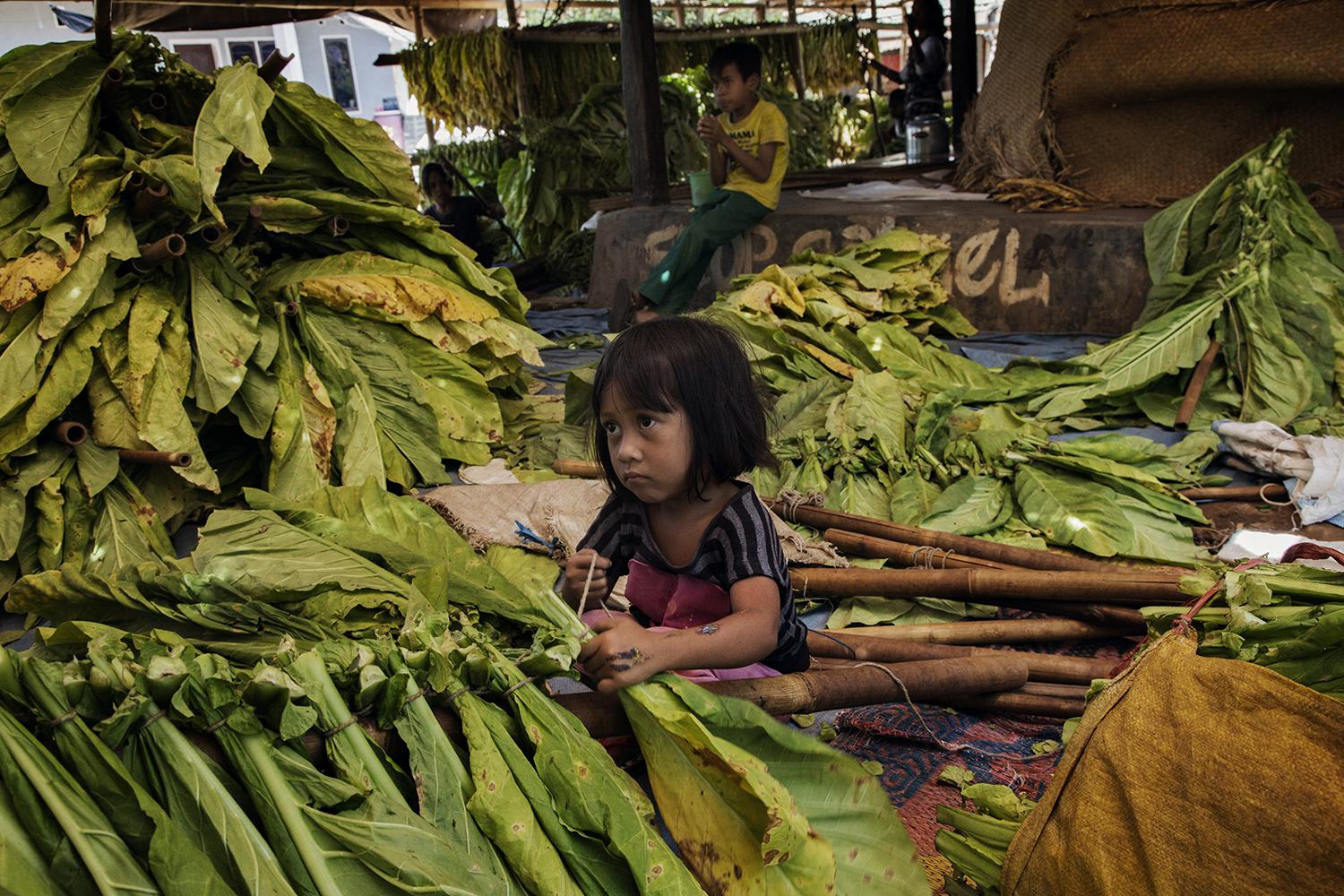 A young girl ties tobacco leaves onto sticks to prepare them for curing in East Lombok, West Nusa Tenggara.