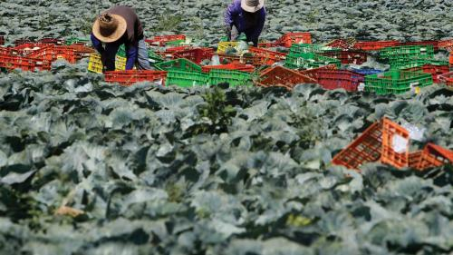 Thai agricultural workers working in a cabbage field on a farm in southern Israel, on July 16, 2014.