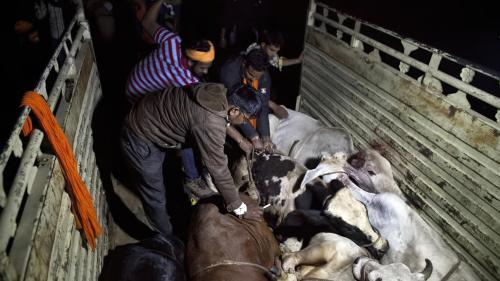 Members of a cow protection group patrol the streets of Ramgarh, Rajasthan, and confiscate cattle being transported by traders, November 2015.