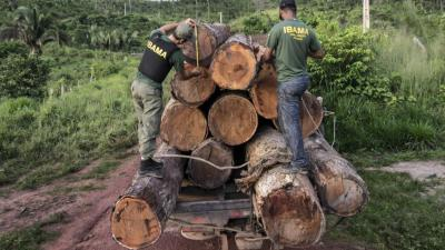 Agents measure illegally cut timber in the Amazon.