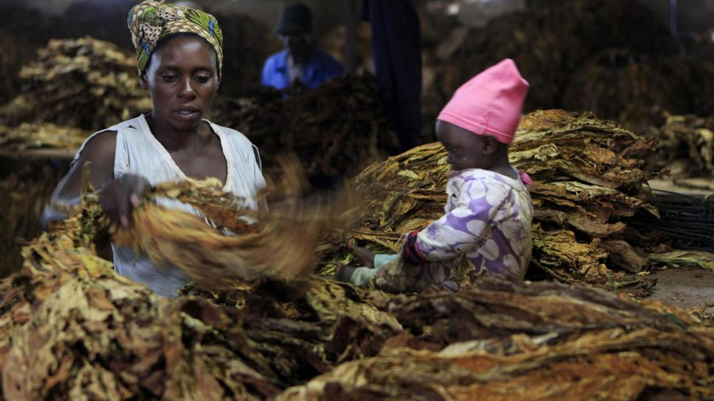 A woman sorts dried tobacco leaves in Harare, Zimbabwe while a child sits nearby.