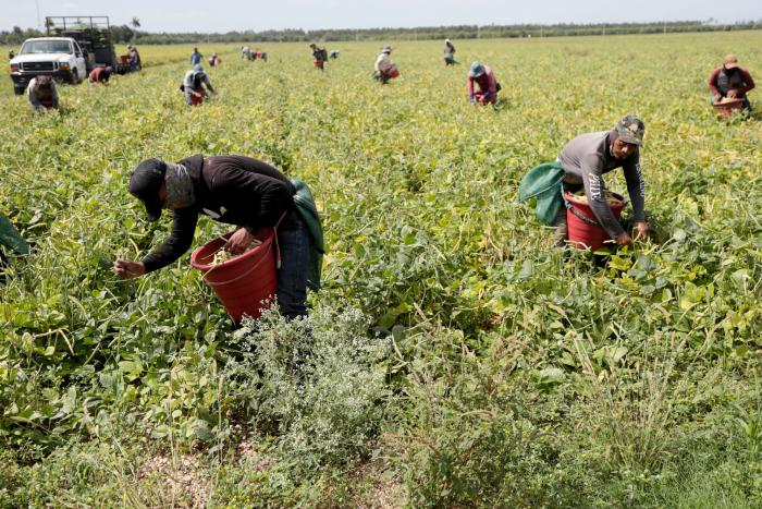Farmworkers, considered essential workers under the Covid-19 pandemic, harvest beans in Homestead, Florida, May 12, 2020.