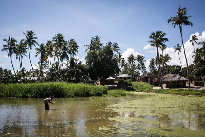 Eine mosambikanische Frau arbeitet in einem Reisfeld in Palma, wo im Februar 2017 vor der Küste große Erdgasvorkommen gefunden wurden.