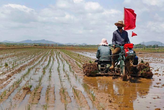 Farmers plant rice in Rangnang district in Pyongyang, North Korea, May 25, 2021.