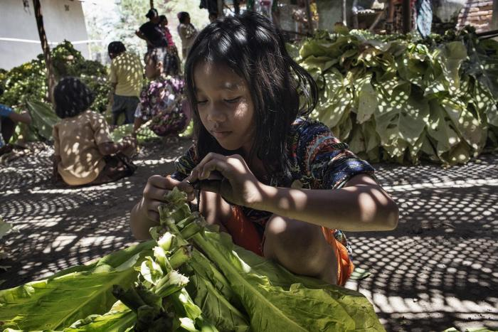An 11-year-old girl ties tobacco leaves onto sticks to prepare them for curing in East Lombok, West Nusa Tenggara.