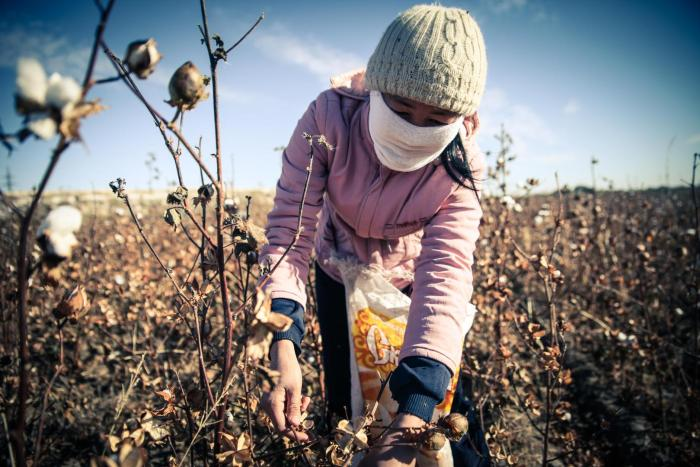 A woman picks cotton during the 2015 cotton harvest, which runs from early September to late October or early November annually.