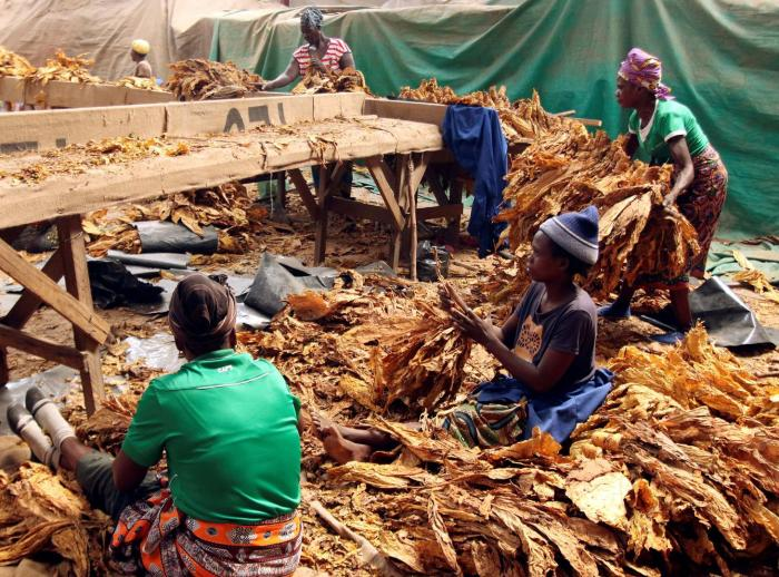 Workers sort dried tobacco leaves on a farm outside of Harare, Zimbabwe.