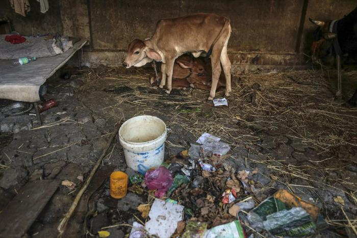 A calf at a cow shelter in Mumbai, March 2015.