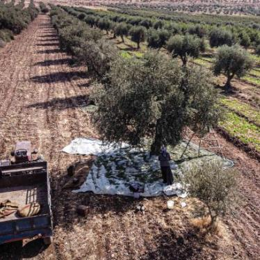 Syrian farmers harvest olives in Idlib, Syria on November 21, 2020. Despite the negative effects of fertilization, tree pruning and transportation costs as well as the increase in fuel prices, farmers started to harvest olives, their main source of their income. The land pictured is not representative of the cases investigated by Human Rights Watch.